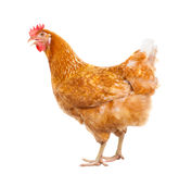 Full body of brown chicken hen standing isolated white backgroun Stock Image