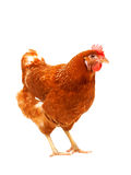 Full body of brown chicken hen standing isolated white backgroun. D use for farm animals and livestock theme Royalty Free Stock Photo