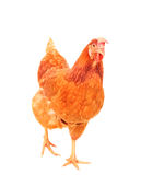 Full body of brown chicken hen standing isolated white backgroun Stock Photos