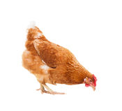 Full body of brown chicken hen standing isolated white backgroun Stock Photography