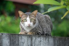 Full body of Brown and grey color cat sitting on the edge of the wall. Full body of Brown and grey color cat that has white triangle on his face and neck sitting royalty free stock images