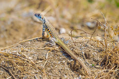 Full body of Butterfly lizard Stock Images