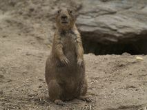 Close Up of Standing Prairie Dog Stock Images