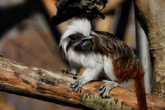 Full body of Cotton-top tamarin a small New World monkey. Photography of nature and wildlife stock image