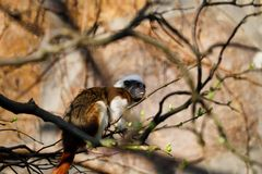 Full body of Cotton-top tamarin a small New World monkey. Photography of nature and wildlife royalty free stock images