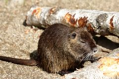 Full body of coypu nutria. Myocastor coypus, sitting near the rivershore. Photography of nature and wildlife stock photography