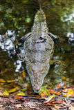 Full body crocodile. In water Stock Photography