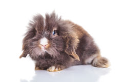 Full body of a cute lion head rabbit bunny Stock Photos