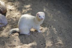 Full body of domestic beige male ferret royalty free stock photos