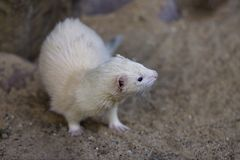 Full body of domestic beige male ferret stock image