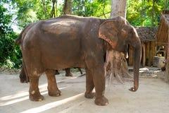 Full body elephant walking and eating cane Stock Images