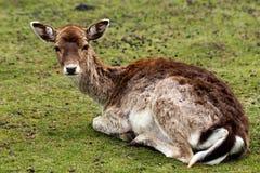 Fallow deer dama dama. Full body of fallow deer dama dama on the meadow. Phtography of wildlife stock photo