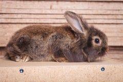 Full body of a furry lion head rabbit bunny lying Stock Photos