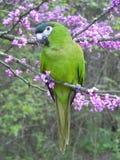Full body Hahn macaw stock image