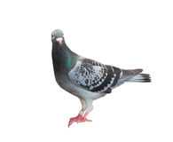 Full body of homing pigeon bird isolated white background Stock Image