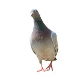 Full body of homing pigeon bird isolated white background Royalty Free Stock Images