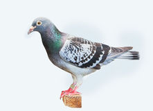 Full body of homing speed racing pigeon isolated white backgroun Royalty Free Stock Image