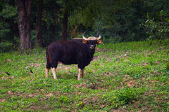 Full body of male Gaur Royalty Free Stock Image