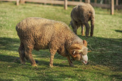 Full body of male merino sheep feeding green grass in ranch live Stock Images