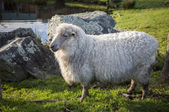 Full body of merino sheep in livestock farm new zealand Royalty Free Stock Images
