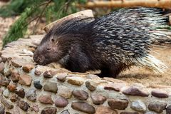 Full body of the Old World porcupines Hystricidae, large terrestrial rodent royalty free stock photography