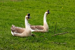 Paar chinese gooses. Full body of paar domesticated chinese gooses on the green meadow Royalty Free Stock Image
