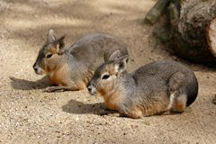 Patagonian Cavy Mara. Full body of paar Patagonian Cavy Mara dolichotis mammal Royalty Free Stock Images