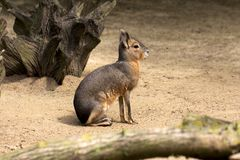 Patagonian cavy mara. Full body of Patagonian Cavy Mara dolichotis mammal Stock Images