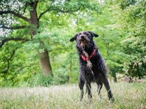 Full body photo of mix breed schnollie, schnauzer x border collie. Standing at a park stock images