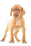 Full body picture of a viszla puppy dog standing. On white background and looks to side Royalty Free Stock Photography