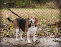Full body of plump  senior beagle dog on a leash looking towards. Full body of overweight  senior beagle dog on a leash looking towards camera against chain link Royalty Free Stock Photo