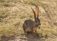 Full body portrait of African hare, Lepus capensis, with backlit large ears eating leaf while sitting on grass next to dirt road. In Kenya, Africa stock image