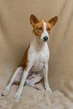 Full body portrait of basenji dog Royalty Free Stock Photos