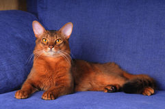 Full body portrait of beautiful somali cat. Lying on blue textile sofa at home and looking at camera Stock Photos