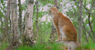 Full body portrait of european lynx sitting in the forest stock video footage