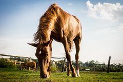 Brown horse feeding on grass on small farm stock photography