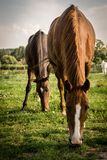 Brown horses feeding on grass on small farm royalty free stock photography