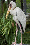 Full Body Portrait of Milky Stork. A milky stork posing for camera inside Kuala Lumpur Bird Park Royalty Free Stock Photos