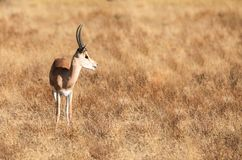 Full body portrait of young adult male impala, Aepyceros melampus, in profile with tall grass savannah landscape. Of northern Kenya royalty free stock photography