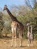 Full body portraits of masai giraffe family, with mother and two young offspring in African bush landscape with trees in backgroun royalty free stock photo