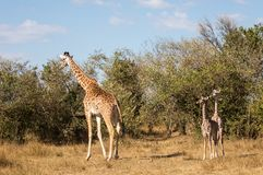 Full body portraits of masai giraffe family, with mother and two young offspring in African bush landscape with trees in backgroun stock images