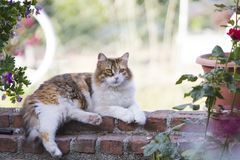 Full body profile of an adorable furry tricolor calico cat lying unbuttoned on a red brick garden wall. royalty free stock images