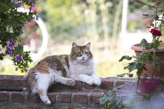 Full body profile of an adorable furry tricolor calico cat lying unbuttoned on a red brick wall with bokeh. stock images