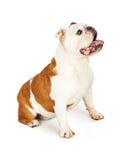 Full Body Profile of English Bulldog Sitting Royalty Free Stock Photography