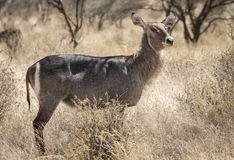Full body profile portrait of common waterbuck, Kobus ellipsiprymnus, in northern Kenyan savannah landscape with tall grass and ac. Acia trees in background stock photo