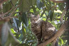 Full body profile portrait  of a stray tabby cat sitting on a locquat tree staring at the observer. Stray cats depend on a variety of food sources and small royalty free stock images