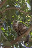 Full body profile of a stray tabby cat on a locquat tree looking away. Stray cats depend on a variety of food sources and small birds and reptiles on trees are royalty free stock image