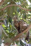 Full body profile of a tabby cat on a locquat tree looking for prey. Full body profile of a stray tabby cat on a locquat tree looking for prey. Stray cats royalty free stock images