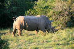 Profile of white rhinoceros backlit with green grass stock photo