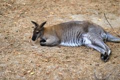 Full body of relex australian kangaroo marsupial. Photography of lively nature and wildlife royalty free stock image